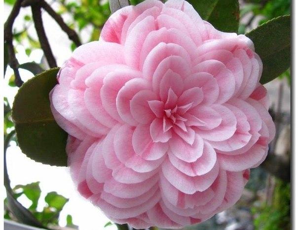 Как выглядит камелия цветок