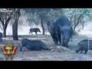 Бои животных. Носорог против дикого кабана