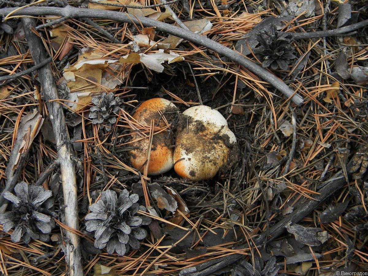 не известные грибы