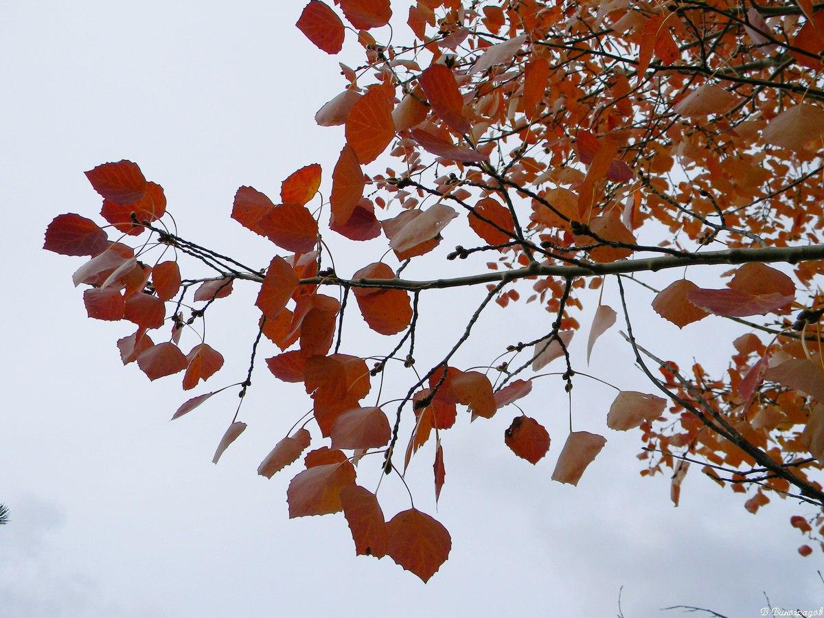 Красные листья осины