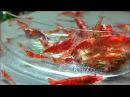 Red Cherry Shrimp Eating a Hikari Algae Wafer