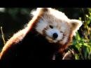 Смешные красные панды!
