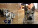 Czechoslovakian Wolf Dog Lovec - The Second Video