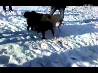 Собачьи бои тибетский мастифф vs хз (но точно не дворняга, перевод монгольская собака)