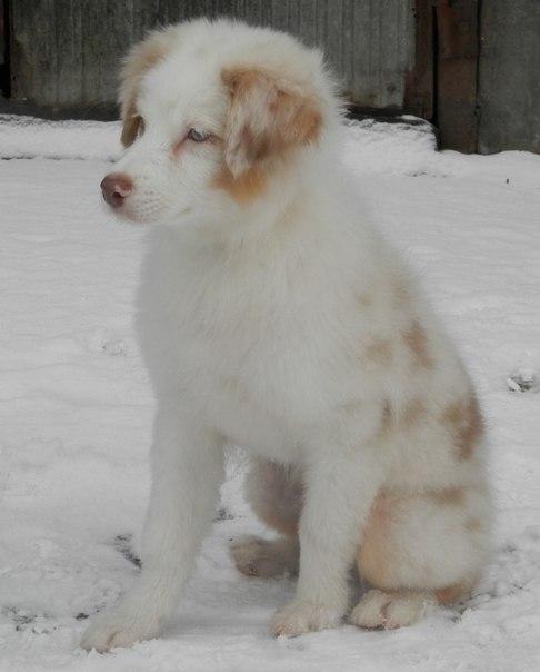 Красный мрамор, щенки в Ленинградской обл. -w0DglSoZ4k