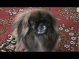 Собака поет - поющий пекинес