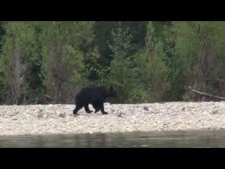 Встреча с медведями. Один встал на задние лапы.