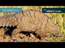 Meet the pangolin who's teaching humans about his own kind