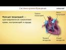 21. Органы кровообращения. Строение и работа сердца