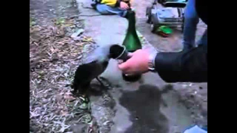 Пьяная ворона