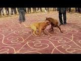 Собачьи бои большие питбули