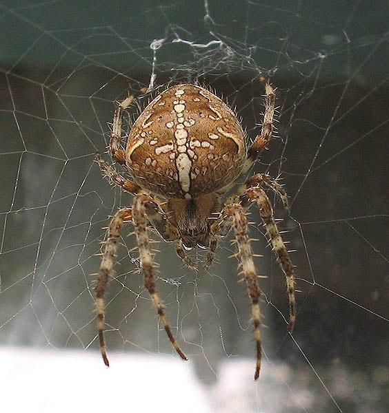 предварительной информации, фото паука крестоносца выборе свиной