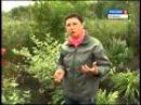 Монарда чай и цветок Все о растении Дача ТВ