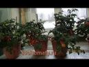 Комнатные томаты  Выращивание томатов зимой