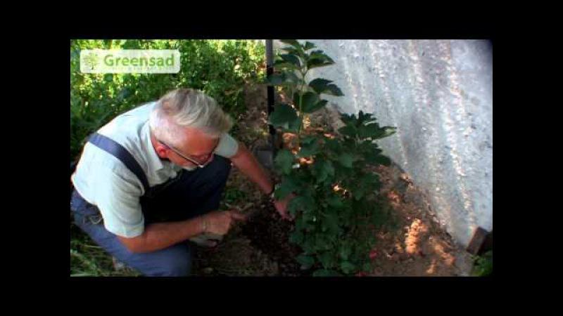 Как сажать калину: выращивание и уход за кустами 52