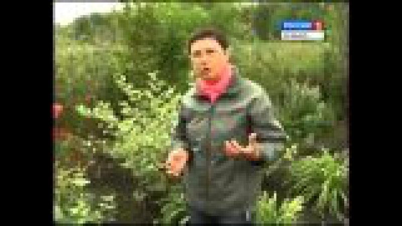 Монарда:чай и цветок! Все о растении. Дача ТВ