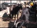 Русский зоофил изнасиловал стадо коз
