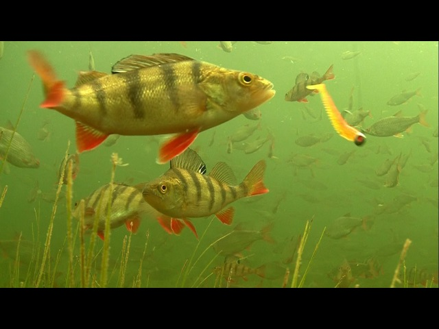 Fishing: how to catch film underwater big perch attack lures soft-baits. Рыбалка окунь на силикон