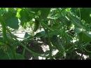 Выращивание огурцов и помидоров на маленьком огороде