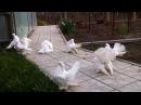 Омские Статные Голуби лучшие птицы планеты