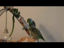 Parrotlet Play Date 1