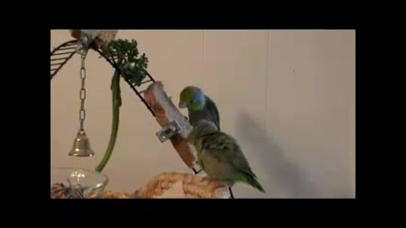 Parrotlet Play Date 1 » Freewka.com - Смотреть онлайн в хорощем качестве