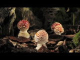 Fly agaric growing and dying time lapse