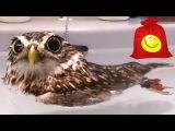 Забавная сова плавает в раковине. Приколы с совами