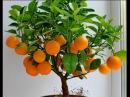 Как вырастить мандарин в домашних условиях из косточки