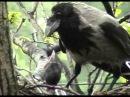 Как кормить птенца вороны в домашних условиях 582