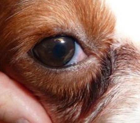 Что делать если у собаки опух язык