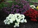 Цветы хризантемы на вашей даче Хризантемы фото