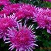 Хризантема, цветоводство для Вашего сада !!!