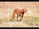 Все породы собак.Венгерская короткошерстная легавая Выжла Vizsla
