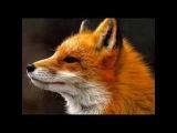 PETER NERO - EL TEMA DE LA ZORRA Theme Of The Fox.wmv