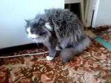Кот и ошейник, точнее очень смешная реакция кота на ошейник :)