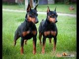 Карликовый пинчер, все породы собак, 101 dogs. Введение в собаковедение.