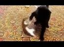 Кот офигел от реакции горностая!!!Жестяк!