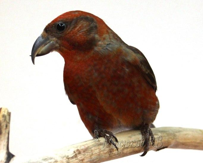 Фотографии моих птиц  _nPJ0EcckIg