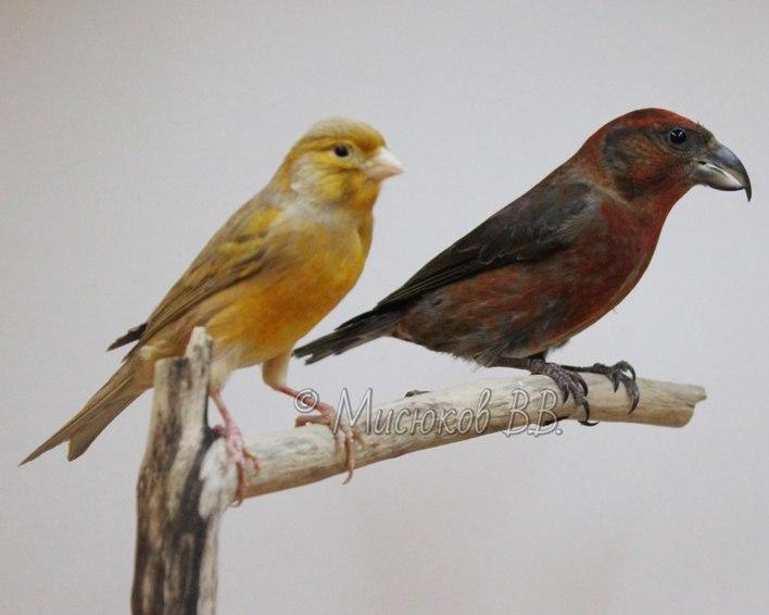 Фотографии моих птиц  S8gxtkDrYqM