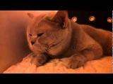Британский говорящий котик, как научить кота говорить