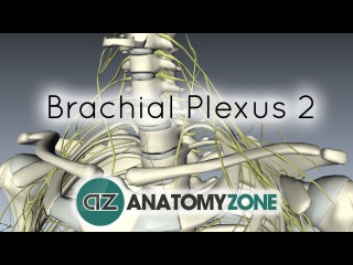 how to draw the brachial plexus in 5 minutes