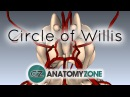 Circle of Willis - 3D Anatomy Tutorial