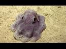 Dumbo Octopus in Action | Nautilus Live