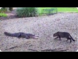 Now Who's The Scaredy Cat Alligator vs. Housecat