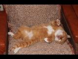 Кот – прикол: наглый, толстый, ленивый, смешной и голубоглазый кот валяется на полу.