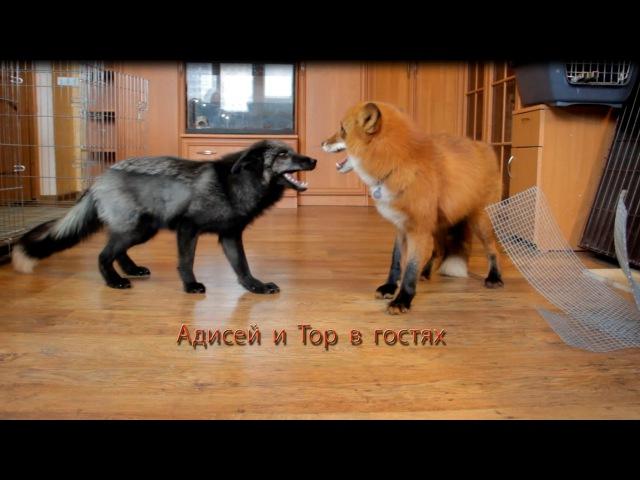 Домашние лисы Адисей и Тор в гостях