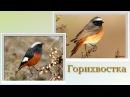 Пение птиц. Горихвостка (Phoenicurus phoenicurus)