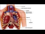 Анатомия Человека  - Органы дыхания.