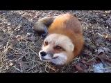 Домашняя лиса играет!!! Ну очень красивая!!!